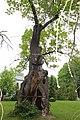 Męcka Wola,technikum leśne,park,gmina Sieradz,dąb szypułkowy,obwód 700 cm.jpg