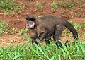 Macaco-prego (Cebus apella).jpg