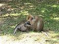 Macaques de Java à la pinède des singes (Labenne).JPG
