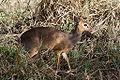 Madoqua kirkii, Serengeti2.jpg