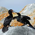 Magellanic Cormorants in the Beagle Channel (5524743053).jpg