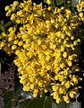 Mahonia Flowers (4540681801).jpg