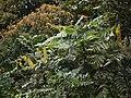 Mahonia leschenaultii (6369938249).jpg