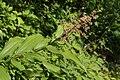 Maianthemum racemosum 6698.JPG
