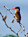 Malachite Kingfisher, Lake Victoria Kenya.jpg