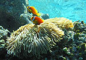 Threespot dascyllus - Image: Maldive anemonefish