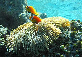 Stichodactylidae - Heteractis magnifica with Maldive anemonefish and juvenile threespot dascyllus