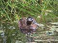 Male Laysan Duck.jpg