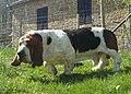 Male basset-hound.jpg