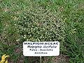 Malphighiailicifolia1.jpg