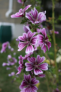 Malva sylvestris var. mauritiana in my parents backyard in Ajax, Ontario. Photoshop was used only to rotate the image 90 degrees.