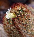 Mammillaria elongata var. rufocrocea Kiev2.jpg