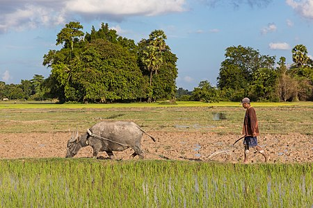 Man in paddy fields plowing with a water buffalo