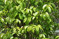 Mangrove Flora 07738.JPG