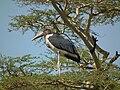 Marabou Stork Leptoptilos crumeniferus in Tanzania 3617 Nevit.jpg
