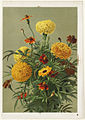 Marigolds (Boston Public Library).jpg