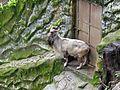 Markhor at Padmaja Naidu Himalayan Zoological Park.jpg