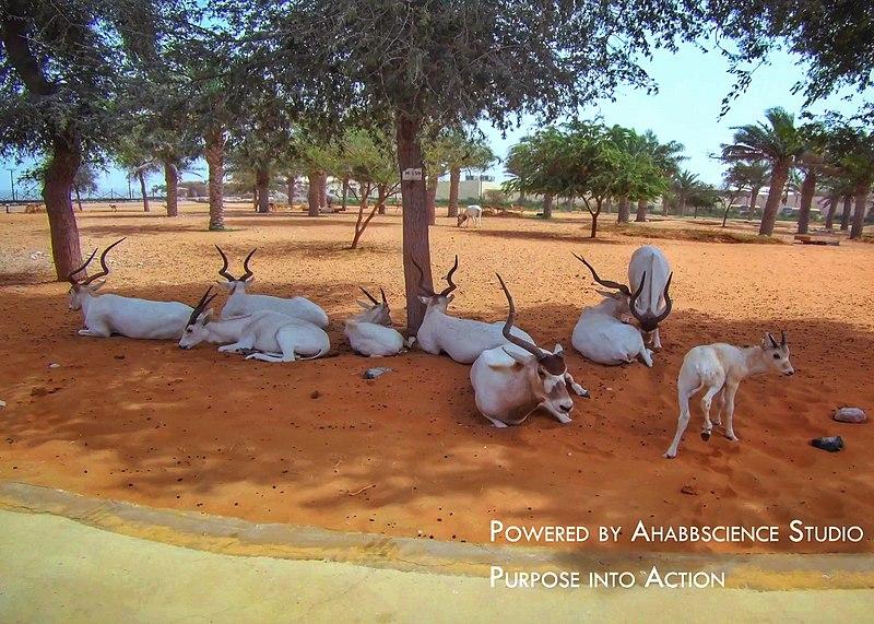 File:Markhors at Dubai Safari Park.jpg