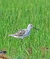 Marsh sandpiper photo from Koottanad Palakkad.jpg