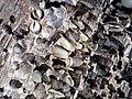 Martesia striata bivalves in wood borings (driftwood on marine beach, Cayo Costa Island, Florida, USA) 12 (26107273341).jpg