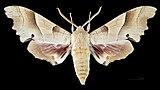 Marumba quercus MHNT CUT 2010 0 89 La Croix-Valmer Male dorsal.jpg