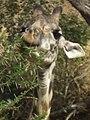 Masai Giraffe Giraffa camelopardalis tippelskirchi in Tanzania 0784 cropped Nevit.jpg
