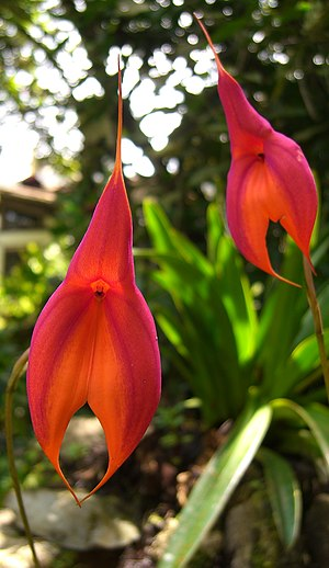 Harry Veitch -  Masdevallia veitchiana