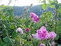 Masovo otglejdane na rozi v zlatosel.jpg