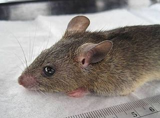 Natal multimammate mouse species of mammal