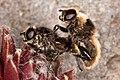 Mating bumblebees.jpg