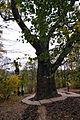 Maxim Zalizniak's Oak.JPG