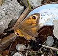 Meadow Brown. Maniola jurtina. Female. - Flickr - gailhampshire.jpg