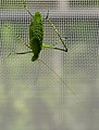 Mecopoda nipponensis 01.jpg