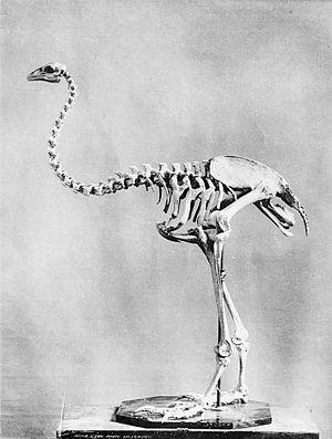 Upland moa - Mounted skeleton