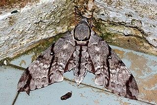 <i>Meganoton analis</i> species of insect