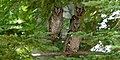 Megascops asio -New York, USA -juvenile-8.jpg