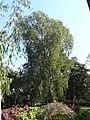 Melaleuca leucadendron (2206234975).jpg