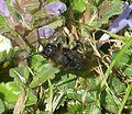 Melecta albifrons, darker colour form - Flickr - gailhampshire.jpg