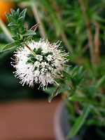 Mentha cervina flower.jpg