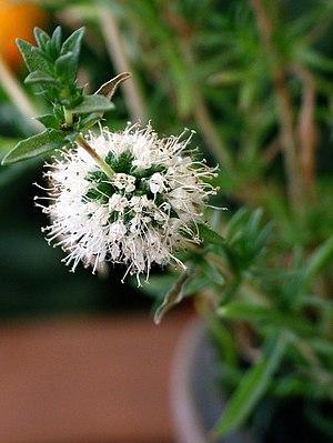 Mentha cervina - Image: Mentha cervina flower