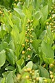 Menyanthes trifoliata IMG 2001.jpg
