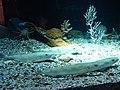 Merluccius merluccius.001 - Aquarium Finisterrae.JPG
