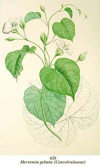 Merremia peltata Banks Florilegium 626