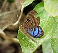 Mesosemia lamachus. (Purple-washed Eyed-Metalmark) (41891878345).jpg