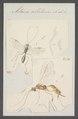 Meteorus - Print - Iconographia Zoologica - Special Collections University of Amsterdam - UBAINV0274 046 08 0032.tif
