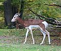 Mhorrgazelle Nanger dama Tierpark Hellabrunn-24.jpg
