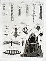Microscopy; diagrams illustrating insects and parts of insec Wellcome V0024963.jpg