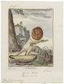 Midas rosalia - 1700-1880 - Print - Iconographia Zoologica - Special Collections University of Amsterdam - UBA01 IZ20200055.tif