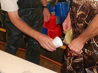 Milt - Collecting Chinook salmon milt at a USFWS hatchery