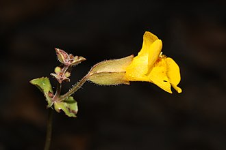 Stayton, Oregon - Seep monkeyflower (Mimulus guttatus) is among the species protected in Kingston Prairie Preserve near Stayton.